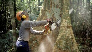 Un leñador utiliza una motosierra para talar un árbol en la selva amazónica