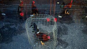 Gallos de pelea alojados en jaulas antes del comienzo de un combate durante un festival en Vega Baja, Puerto Rico, el 27 de octubre de 2019