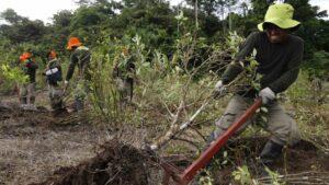 Erradicacion de cultivos de coca en en la ciudad de Caballococha