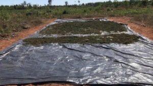 Marihuana destruida por la Secretaría General Antidrogas de Paraguay