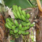 El hongo asesino del banano avanza y se instala en Colombia